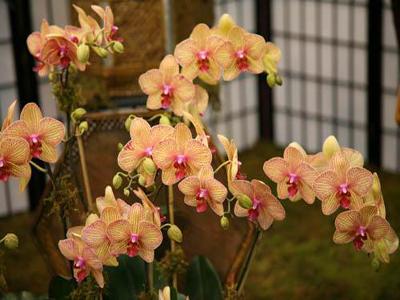 Орхидея фаленопсис: как ухаживать?