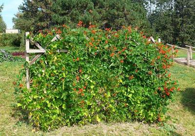 Однолетние лианы для сада