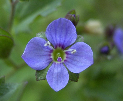 Садовый цветок вероника