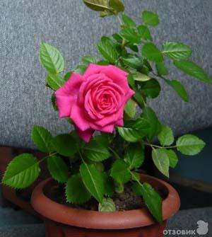 Как размножать домашние розы?