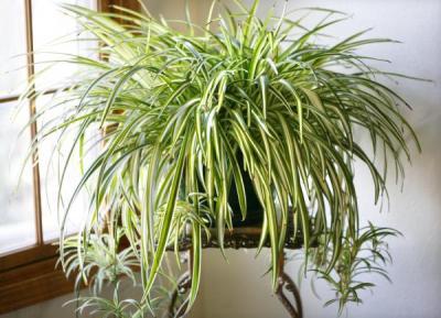 Какие растения очищают воздух?