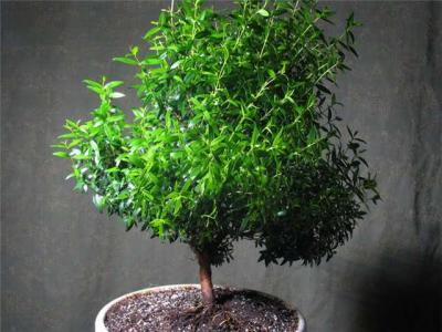 Миртовое дерево представляет собой вечнозеленое растение с небольшими листьями яйцевидной формы. Расскажем об этом растении подробней.   На сегодняшний день выделяют 100 видов мирта обыкновенного, и все они достаточно сложные для домашнего ухаживания и выращивания. По этой причине чаще всего на подоконнике растет мирт обыкновенный. Растение выделяет эфирное масло. Именно за этот удивительный запах и ценится это растение. Как грамотно и правильно ухаживать за растением?   Освещение. Растению требуется много света, но при этом не прямые солнечные лучи. Летом рекомендуется выносить на открытое пространство.   Температурный режим. Дерево мирта требует умеренной температуры. Летом это температура до 23 градусов, а в зимний период 6-10 градусов. Если температура будет выше, то растение может сбросить свою листву. Особое внимание необходимо уделять влажности воздуха. Если воздух будет сухой, то дерево сбросит листву. Чтобы этого не произошло, рекомендуется ставить на поддон влажный керамзит и опрыскивать растение несколько раз в день. Полив должен быть обильным. Мирт не очень растущее растение (около 15 см в год), поэтому если вы планируете придать определенную форму растению, то придется его подрезать. Общий процесс займет 2 года.   Каким болезням подвержено растение? В первую очередь, это тля, щитовка и паутинный клещ. Паутинного клеща смывают под напором воды, а вот для остальных нужно будет приобретать средства в цветочном магазине.   А вы готовы вырастить это удивительное растение?