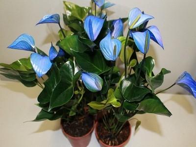 Цветок мужское счастье - Антуриум