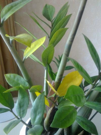 Почему у замиокулькаса желтеют листья?