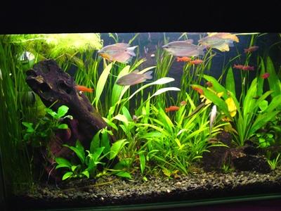 Нимфея аквариумная