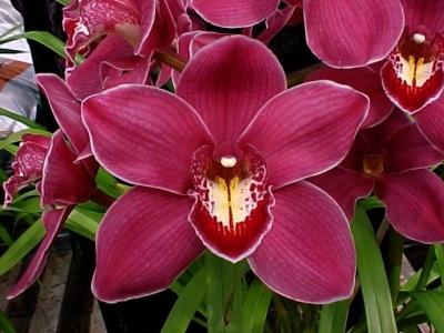 Орхидея цимбидиум – выращивание в домашних условиях