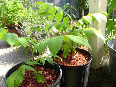 Как выращиваем орехи домашним условиях