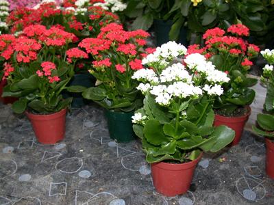 Почему не цветет и растет вверх каланхоэ в домашних условиях