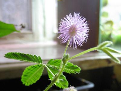 Мимоза стыдливая: выращивание