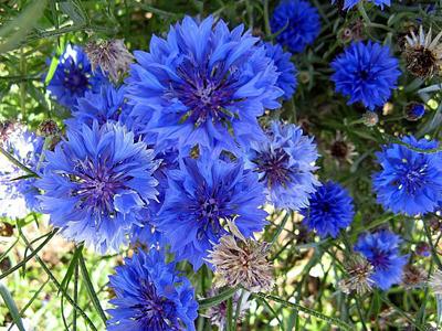 цветы васильков