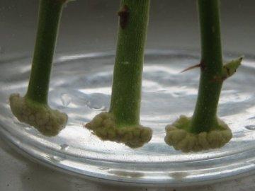 Как размножать розы черенками?