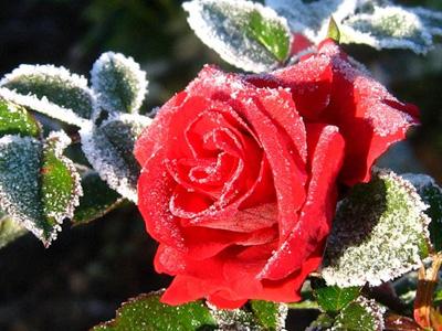 Как утеплить розы на зиму?