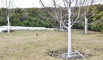 Для чего белят стволы деревьев?