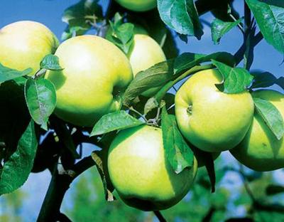 как правильно сажать яблони