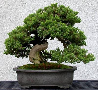 Как ухаживать за деревом бонсай?
