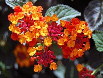 Цветы лантана