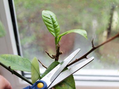 Как обрезать комнатные растения?