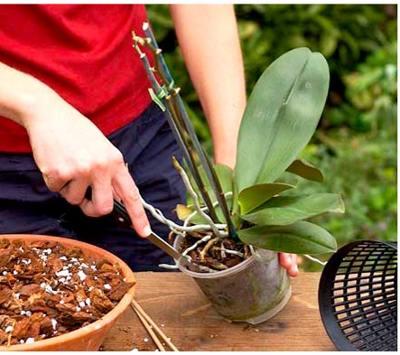 Чем удобрять орхидею