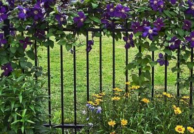Цветы клематис: посадка и уход