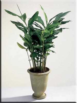 Амомум кардамонный