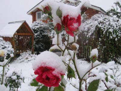 уход за розами зимой