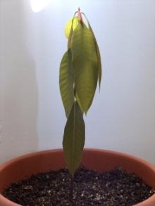 как вырасти манго из косточки
