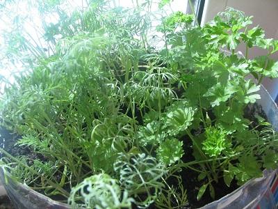 Выращивание петрушки на подоконнике зимой