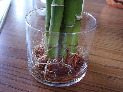 Как правильно посадить бамбук в землю?